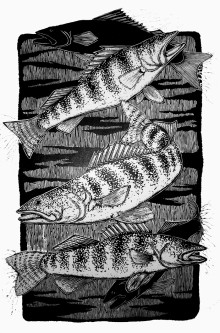 5 Walleye (black & white)